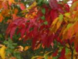 Thumbnail Beautiful Autumn Leaves