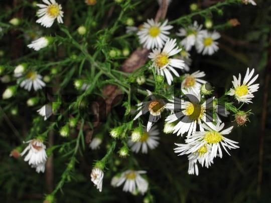 Product picture Beautiful White Flowers Stock