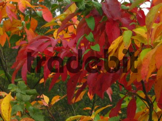 Product picture Beautiful Autumn Leaves